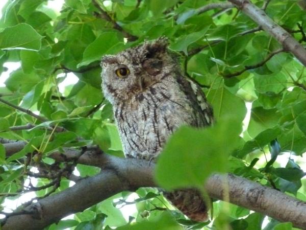 backyard owl 1