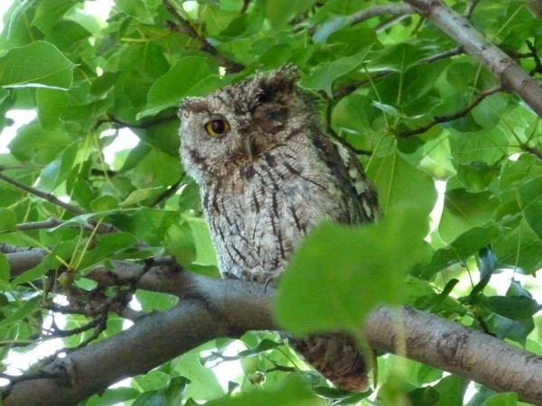 backyard owl 1